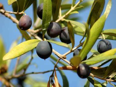 Napa Valley Olive Oil