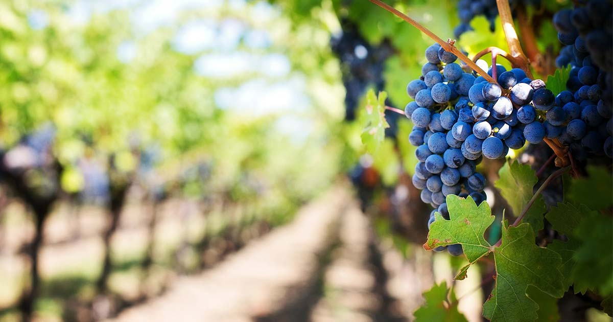 Napa Grape Harvest 2018 The Roundup