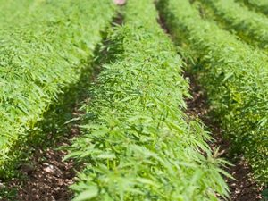 Hemp Farming in Sonoma County California