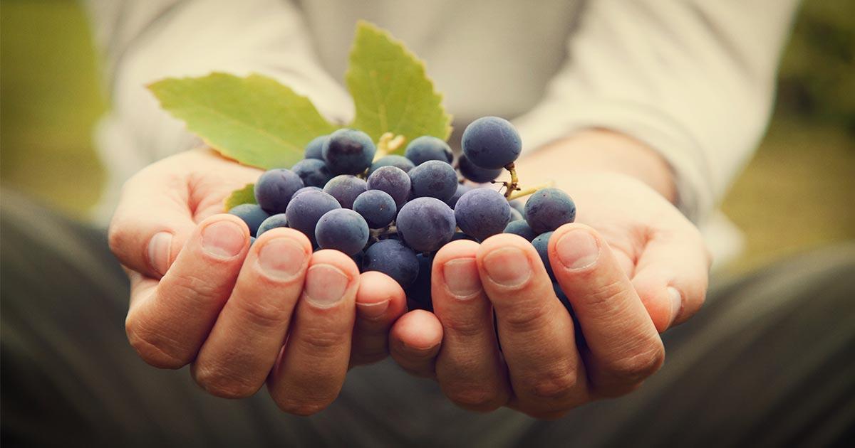 Pierces Disease resistant grapes Napa Valley